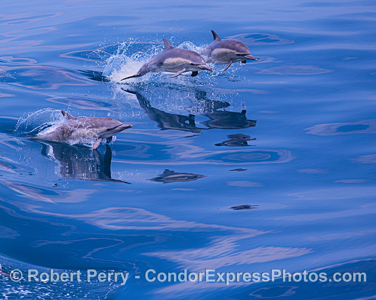 Leaping long-beaked common dolphins.
