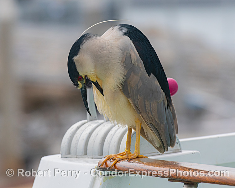 A black-crowned night heron does some preening.