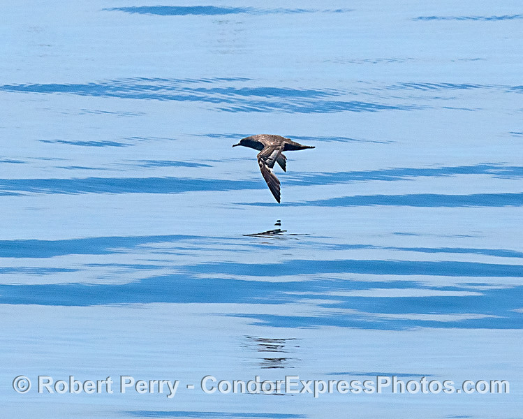 Sooty shearwater, glassy surface