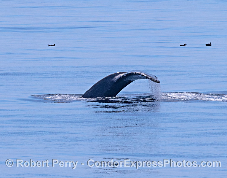 Humpback tail on a glassy ocean surface