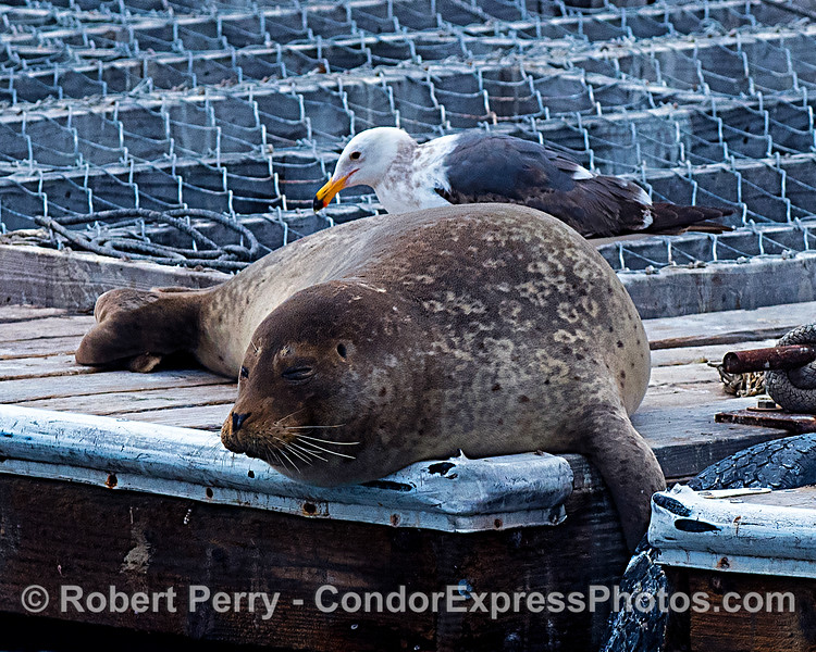 Pacific harbor seal and friend