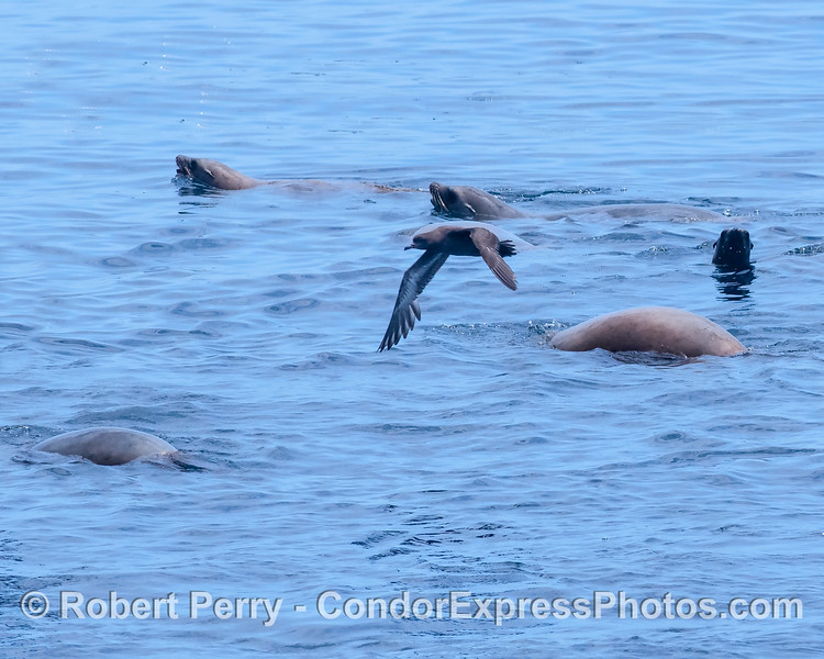 Shearwater and sea lions