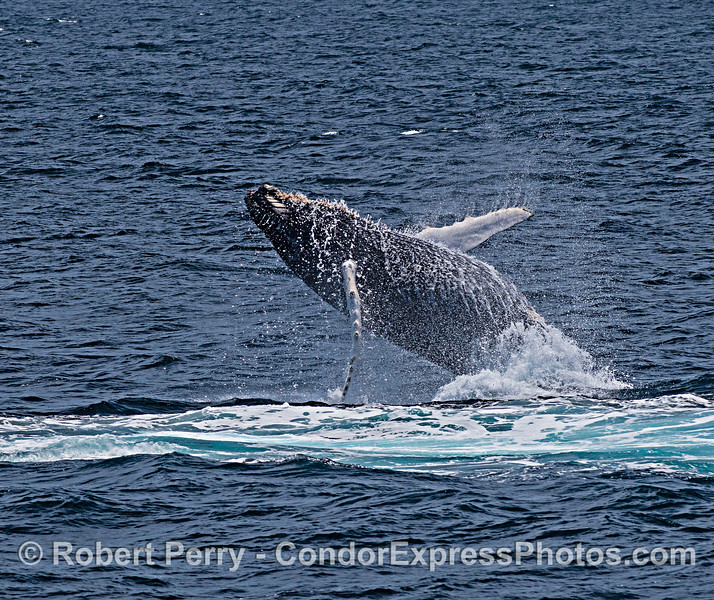 Juvenile humpback whale breaching.