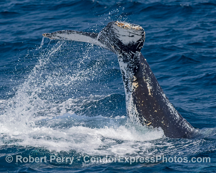 Juvenile humpback whale throws its tail around repeatedly.