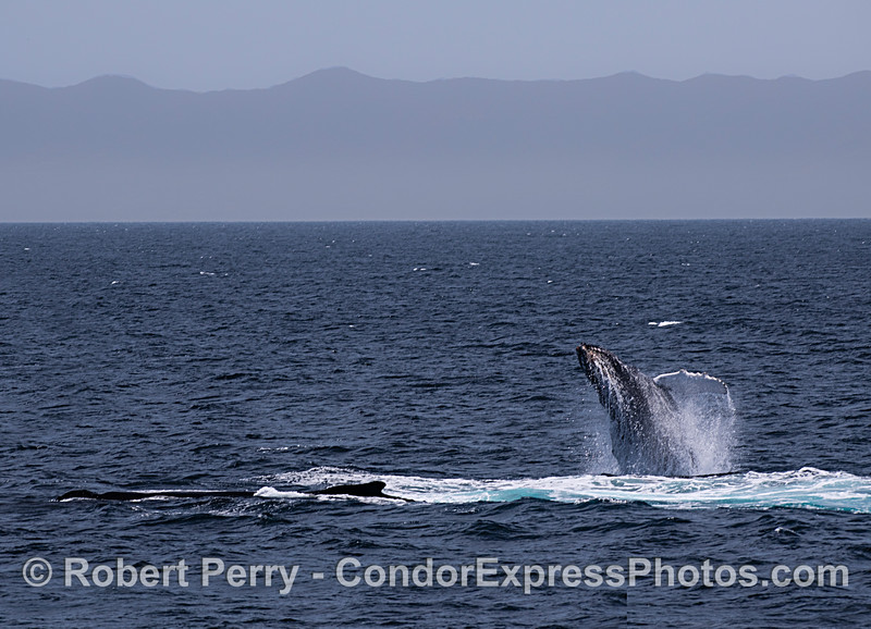 Juvenile humpback whale breaching next to its mother.