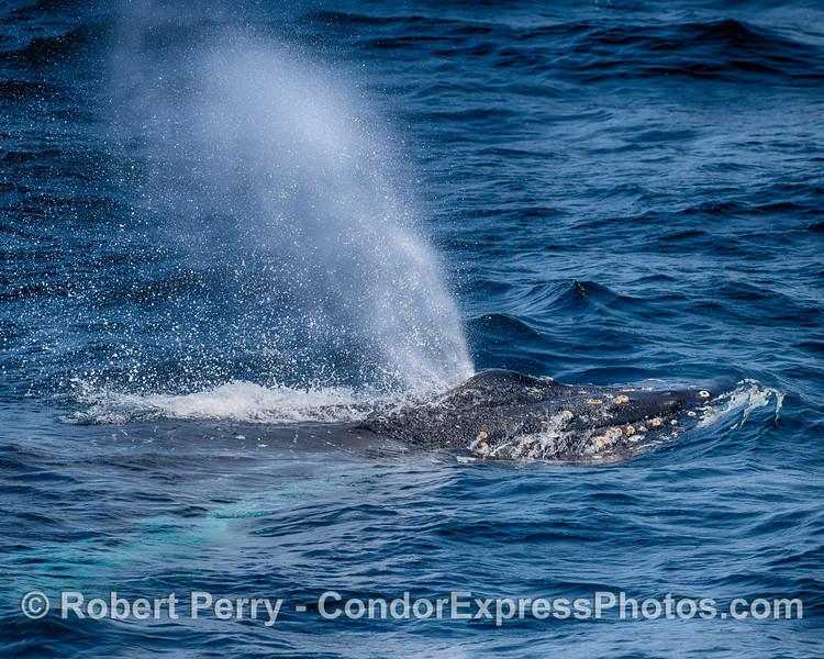 Humpback whale spouting - close up look.