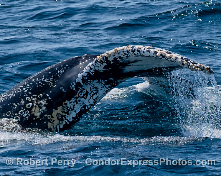 Juvenile humpback whale tail flukes extra-close-up view.