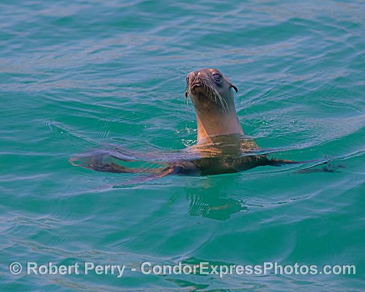 Zalophus californianus ONE in water close 2019 05-02 SB Coast--034