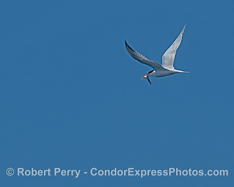 An elegant tern has a mouth full of fish.  These little dive-bombers were all around the nearshore region today.