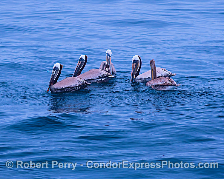Five brown pelicans