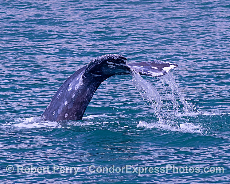 Gray whale tail flukes waterfall
