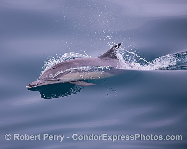 A long-beaked common dolphin on glassy seas.