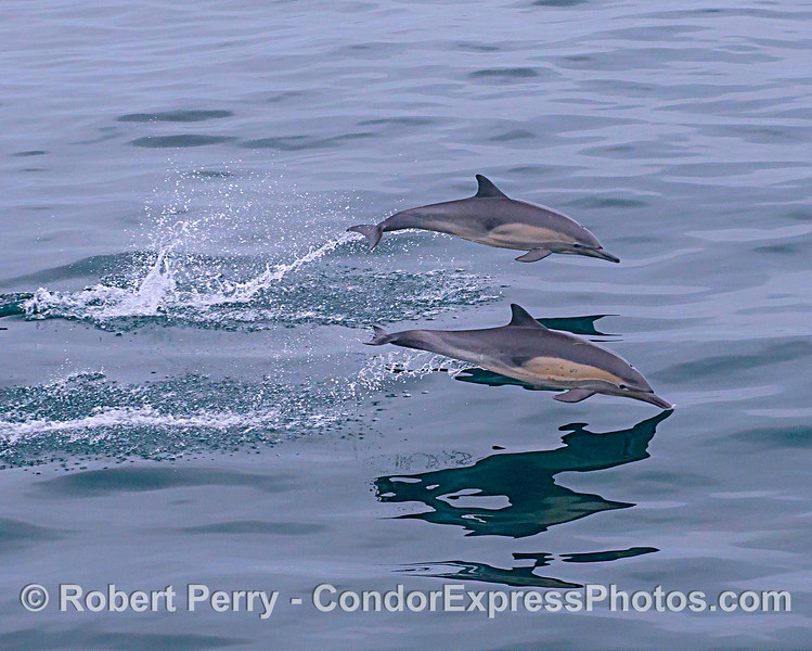 A pair of leaping long-beaked common dolphins.