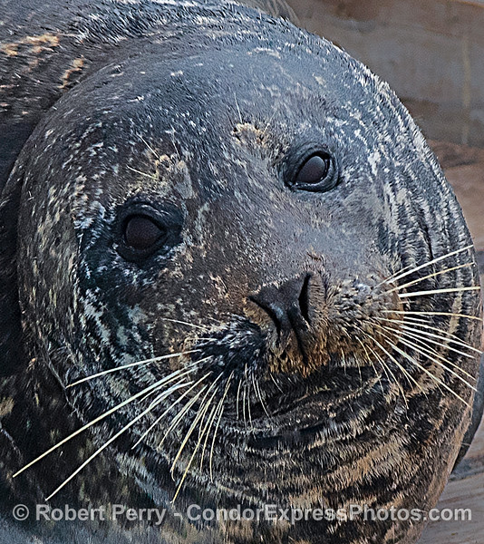 Pacific harbor seal portrait.