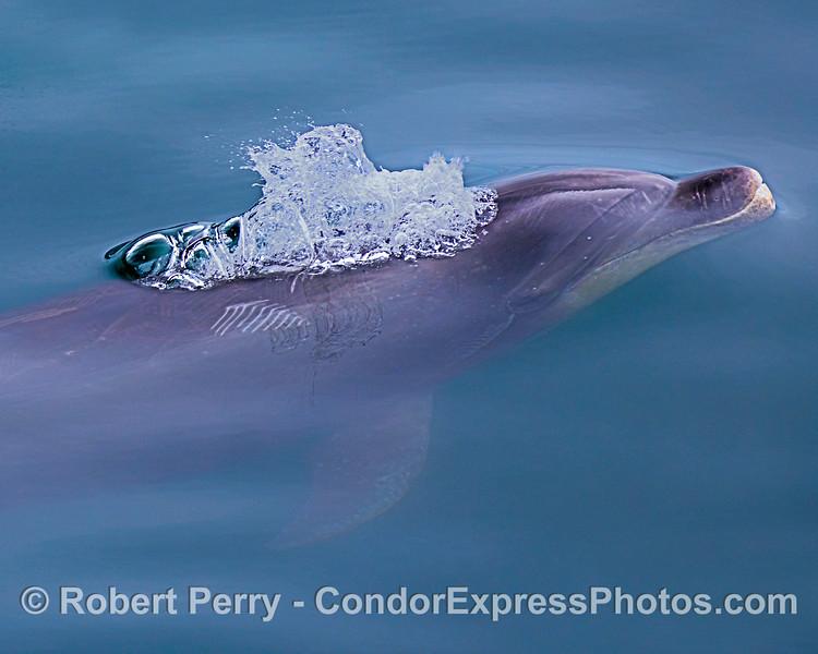 An offshore bottlenose dolphin.