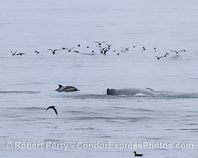 Dolphin, whale and sooty shearwaters.