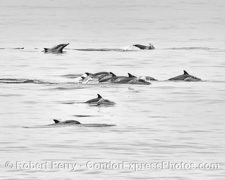 Part of a herd of long-beaked common dolphins shown in classic black and white.