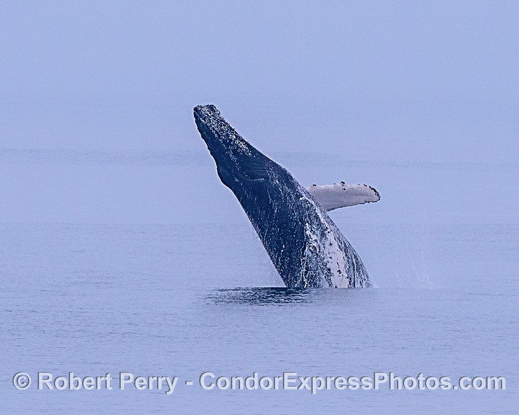 Image 1 of 2:  An enlargement of a distant humpback whale breach.