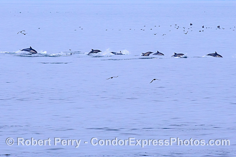 A line of leaping long-beaked common dolphins.