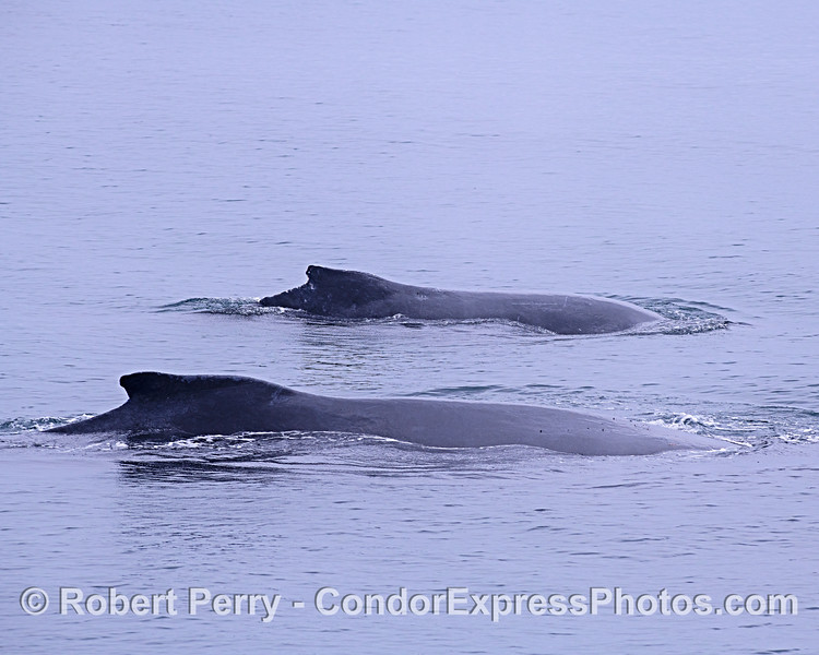 Mother humpback and her not-so-little calf.