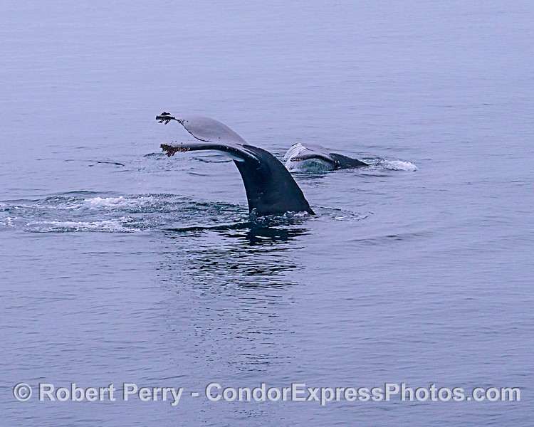 Twin tail flukes:  mother humpback and her calf.