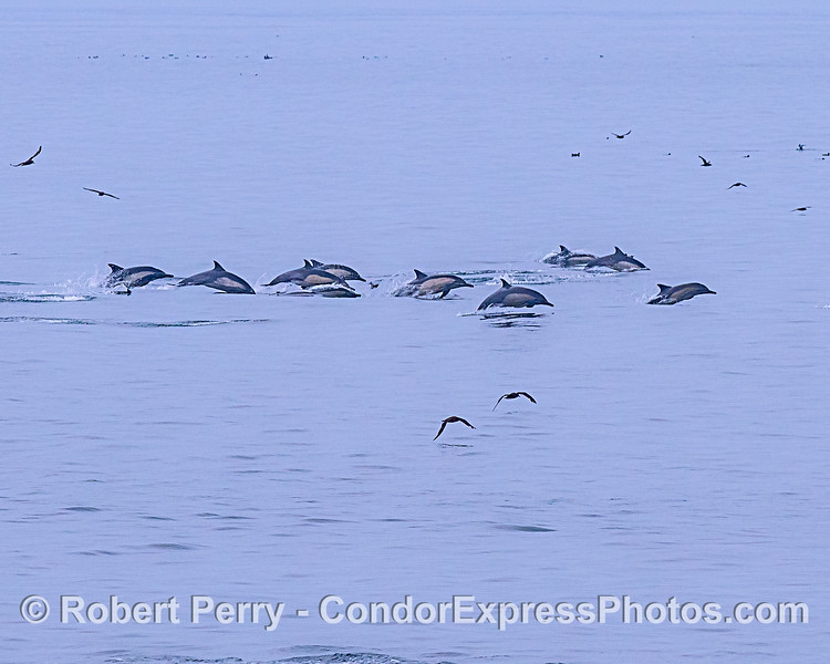 The leading edge high-speed long-beaked common dolphins from a large pod.