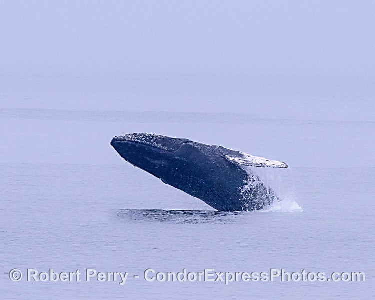 Image 2 of 2:  An enlargement of a distant humpback whale breach.