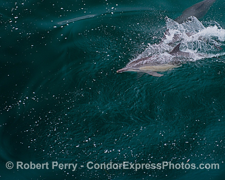 A long-beaked common dolphin slices through jade waters.