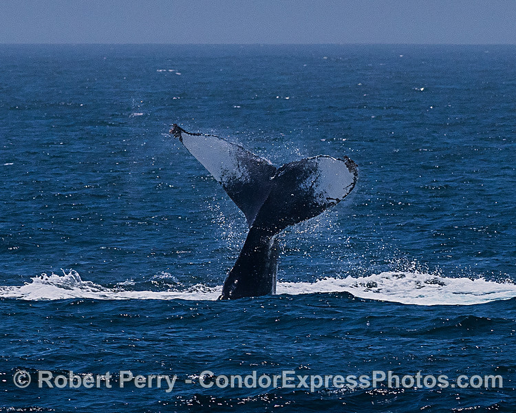 An upside-down, lob-tailing humpback whale, CRC-9007.