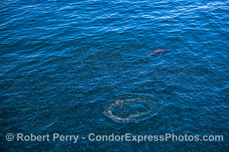 A common dolphin leaves a footprint as it passes through a large northern anchovy bait ball near the surface.