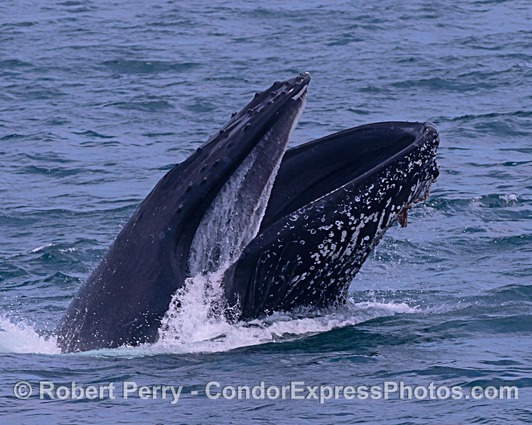 Humpback whale, surface lunge-feeding, with mouth open and baleen visible in upper jaw.
