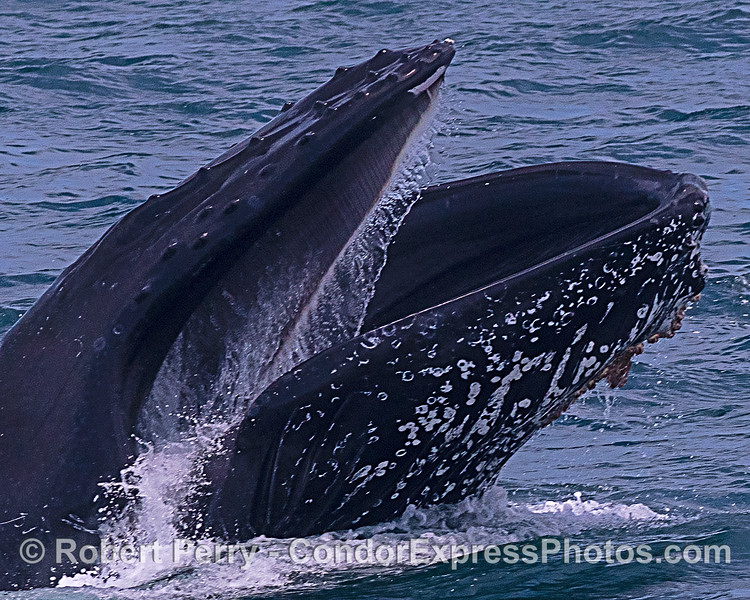 CLOSE LOOK: Humpback whale, surface lunge-feeding, with mouth open and baleen visible in upper jaw.