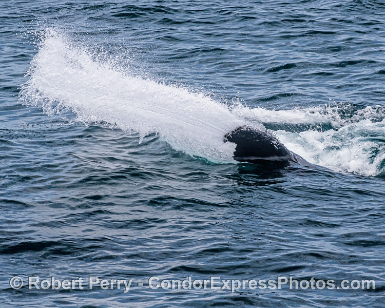 "A series of unusual ""swoop and scoop"" surface feeding by a humpback whale that was given the nickname ""Dos Equis."""