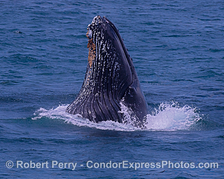 Humpback whale, vertical surface lunge-feeding.