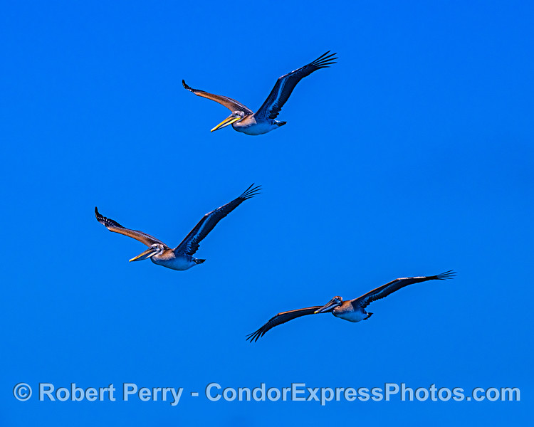 Los tres pelicanos.