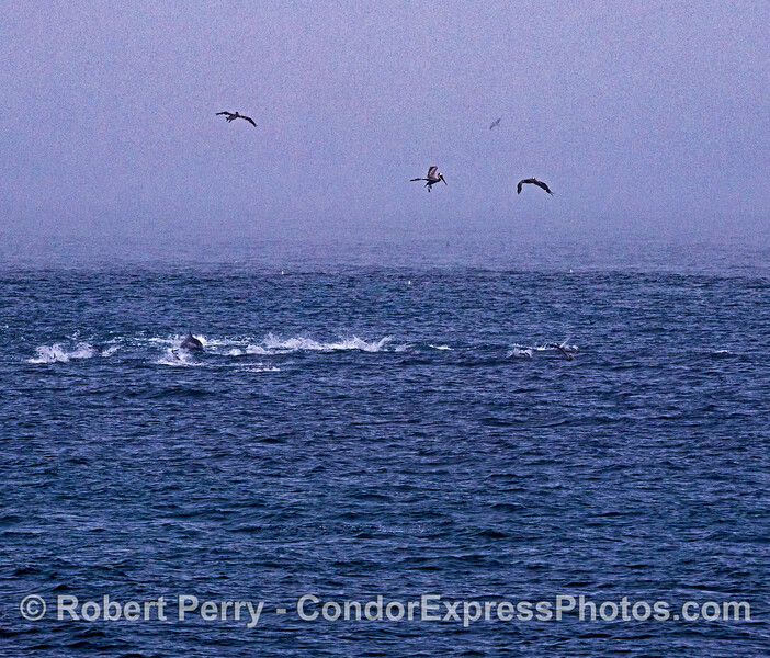 Pelicans hover above common dolphins