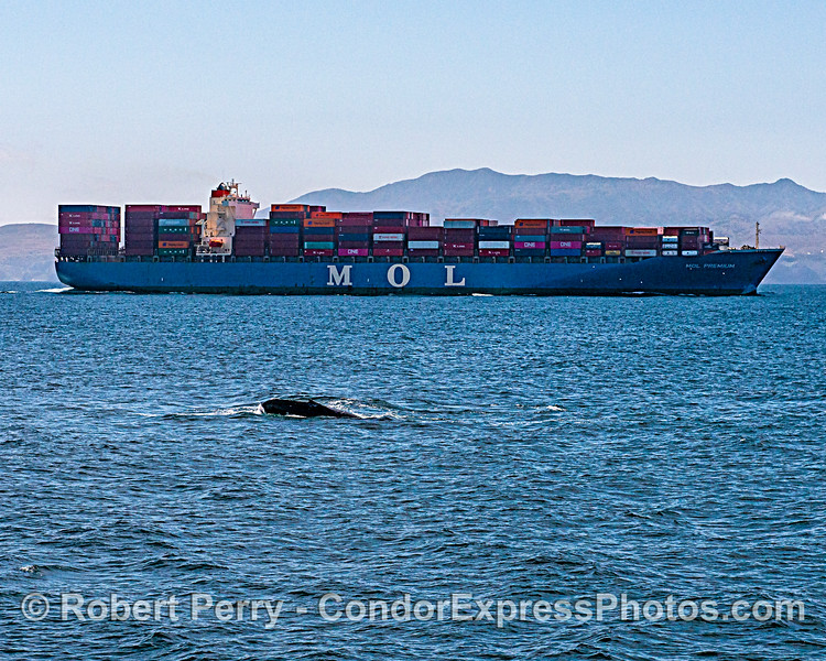 Humpback whale and container cargo ship.  Santa Cruz Island is in back.