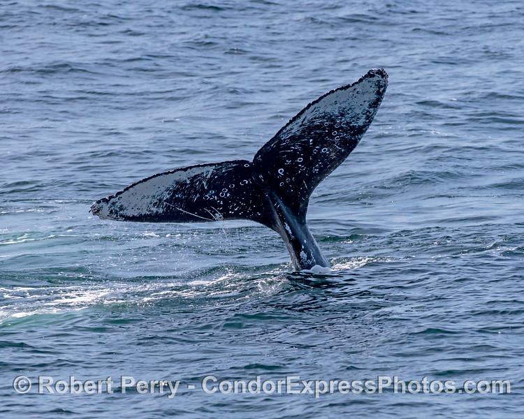 Humpback whale tail.