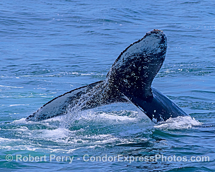 Water patterns - humpback whale tail.
