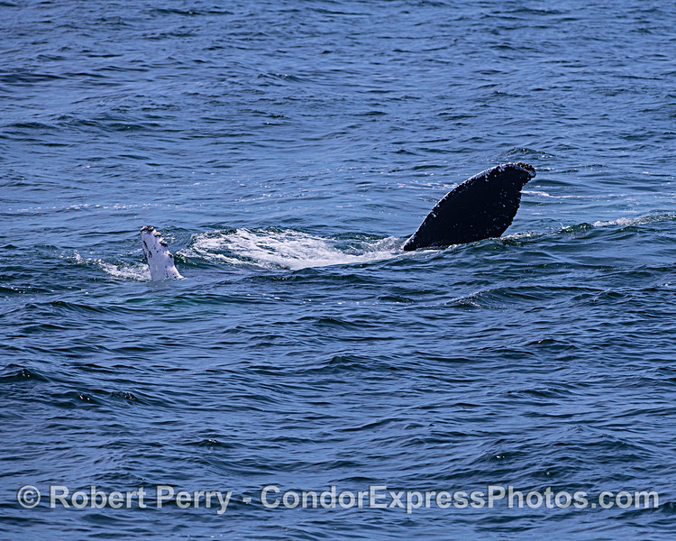 Humpback whale swimming on its side.  Pectoral fin (left) and tail fluke (right).