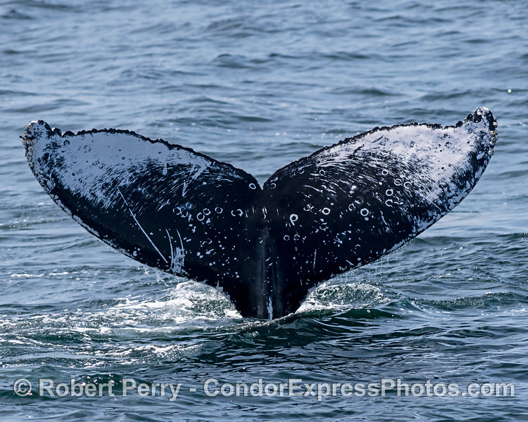 Humpback whale tail - ID shot.