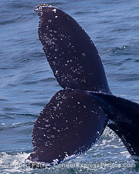 Close look and portrait orientation to capture the massive tail flukes of this  humpback whale.