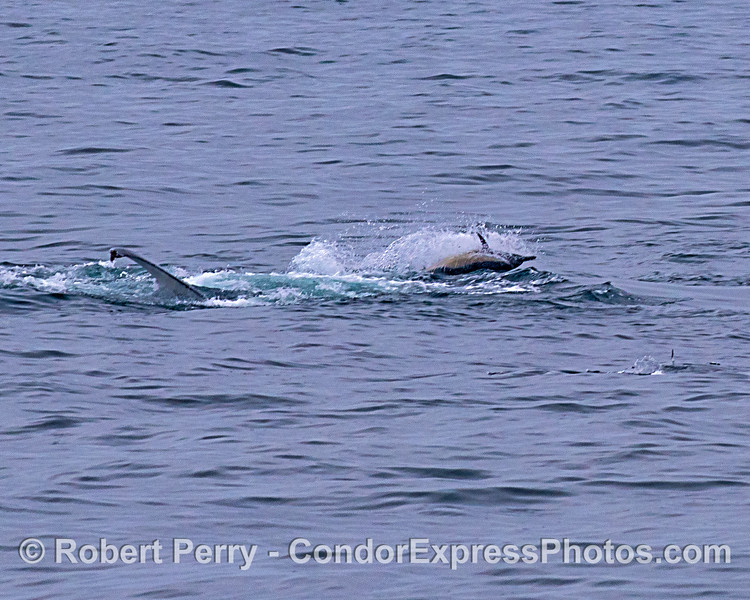 Megaptera novaeangliae & Delphinus capensis feeding simultaneously 2019 08-12 SB Channel-g-029