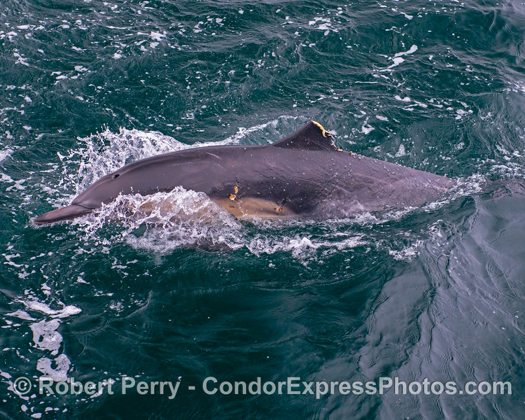 Delphinus capensis hacked off dorsal fin 2019 08-12 SB Channel-k-002