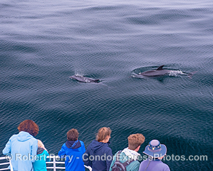 Tursiops truncatus offshore & passengers 2019 08-12 SB Channel--045