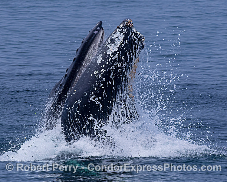 Image 3 in a sequence: a humpback whale surface lunge feeding.