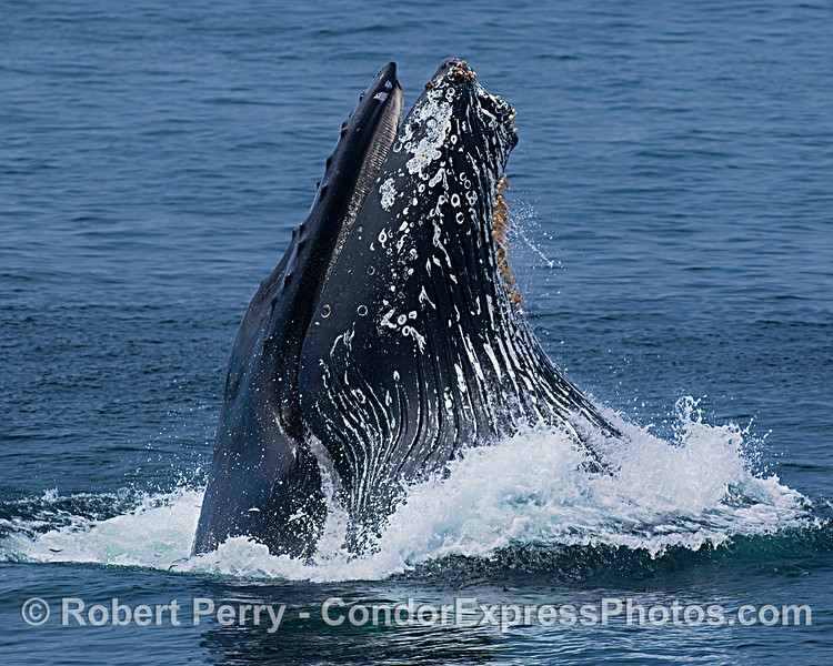 Image 4 in a sequence: a humpback whale surface lunge feeding.