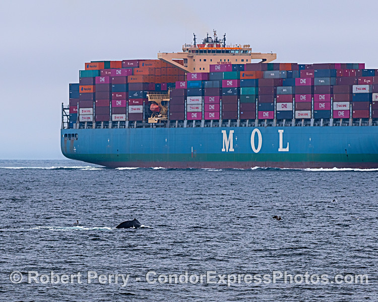 Humpback whale in lower right is shown very close to the northbound commercial shipping lanes.