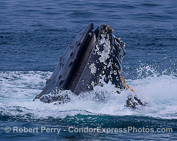 Image 6 in a sequence: a humpback whale surface lunge feeding.