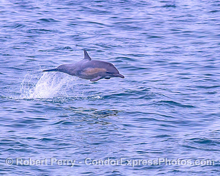 Long-beaked common dolphin leaping.